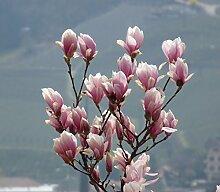 annas-garten Pflanze, Tulpenmagnolie, 6 L Topf, 60-80 cm Pflanzenhöhe, grün, 120 x 45 x 40 cm, 33702