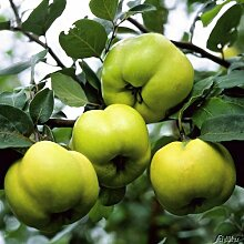 Apfelquitte