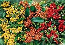 Feuerdorn Mischung Rot, Gelb und Orange – 3 immergrüne Pflanzen als Sichtschutz-Hecke - Heckenpflanze / Kletterpflanze von Garten Schlüter