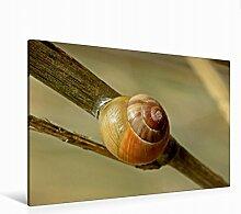 Leinwand Garten-Bänderschnecke (Cepaea hortensis) 120x80cm, Special-Edition Wandbild, Bild auf Keilrahmen, Fertigbild auf hochwertigem Textil, Leinwanddruck, kein Poster