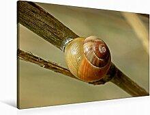 Leinwand Garten-Bänderschnecke (Cepaea hortensis) 90x60cm, Special-Edition Wandbild, Bild auf Keilrahmen, Fertigbild auf hochwertigem Textil, Leinwanddruck, kein Poster