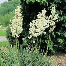 Palmlilie 'Elegantissima'