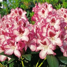 Rhododendron 'Hachmanns Charmant®'