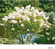 Rispenhortensie 'Grandiflora' - Der Klassiker