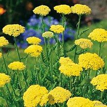Schafgarbe 'Summer Gold' (Achillea filipendulina) - 1 Pflanze