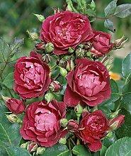 'Cardinal Hume' -R-, Englische Rose im 4 L