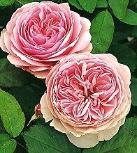 'Geoff Hamilton' -R-, Englische Rose im 4