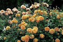 'Golden Celebration' -R-, Englische Rose