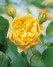 'Graham Thomas' -R-, Englische Rose im 4 L