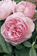 'Heritage' -R-, Englische Rose im 4 L