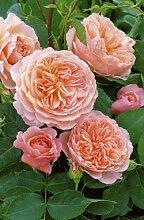 'William Morris' -R-, Englische Rose im 4