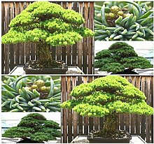 (5) White 5 genadelt Kiefer Seed- japanischen