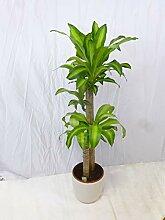[Palmenlager] - Dracaena massangeana 140 cm -