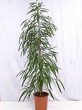 [Palmenlager] - Ficus binn. Alii 180/200 cm / /