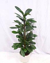 [Palmenlager] - Ficus cyathistipula 120/130 cm -