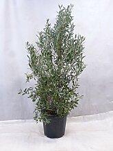 [Palmenlager] Olea europea Olivenbaum -