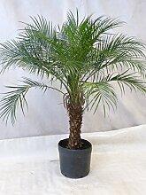 [Palmenlager] Phoenix roebelenii Zwerg-Dattelpalme