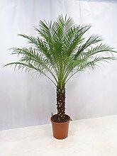 [Palmenlager] - Phoenix roebelenii -