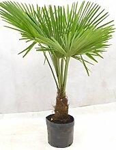 [Palmenlager] Winterharte Palme -Trachycarpus