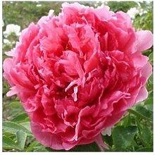 ! Peones Samen Original Blumensamen 100 Bonsai