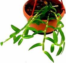 1 blühfähige Orchidee der Sorte: Dendrobium
