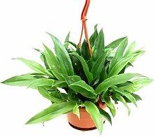 1 blühfähige Orchidee der Sorte: Promeneae