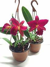 1 blühfähige Orchidee der Sorte: Slc. Mea