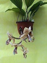 1 blühfähige Orchidee der Sorte: Stanhopea