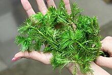 1 Bund Wasserfeder (Hottonia palustris)
