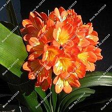 1: Clivia Seeds Blumentöpfe Pflanzgefäße Garten