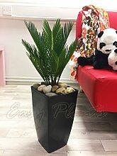 1Evergreen King Sago Palm Cycas Haus Pflanze in Hoch Milano Topf–Schwarz glänzend