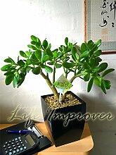 1Evergreen Pflanze @ Tisch Hochglanz schwarz