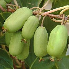 1 Kiwi-Pflanze ARGUTA JUMBO grün männliche