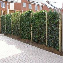 1 meter Efeu Hecke (6 immergrüne Efeu 75/100cm Pflanzen) - 100% Sichtschutz garantiert für Garten und Terrasse | ClematisOnline Kletterpflanzen & Blumen