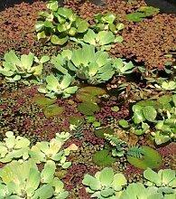 1 Muschelblume + 1 Krebsschere, Schwimmpflanzen