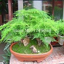 1 Original Pack 6 Samen / Packung Grün Kräuter Pflanze Setose Spargel Samen, Stauden Kleine Bambus Bonsai