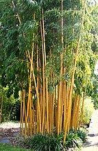 1 Pflanze 120-130 cm. Seltener Phyllostachys vivax Aureocaulis Der Zauberbambus Frosthart bis - 22 und Wuchs bis 10 Meter Höhe