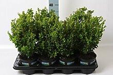 1 Pflanze Buchsbaum ca. 45 cm Strauch Buxus