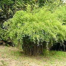 "1 Pflanze Frostharter farbenprächtiger Bambus Fargesia nitida ""Great Wall"" schnellwachsend ohne Rhizome"