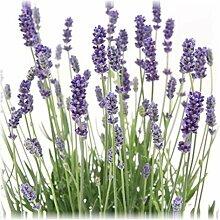 1 Pflanze Lavandula angustifolia Staude Lavendel
