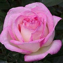 1Pflanze von Pink Princesse de Monaco in Vase 19cm Duftkerze Meilland