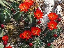 1 Pflanze winterharte Echinocereus triglochidiatus in einer 17cm Schale