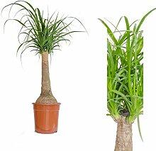 1 Pflanzen Elefantenfuß 90 cm +/- Beaucarnea