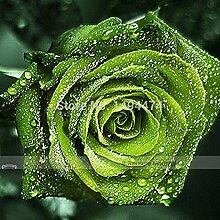 1 Profi-Pack 100 Samen / pack, Dunkelgrün Europäische Rose Bush Seed Fragrant Flower Garden Pflanze # NF407