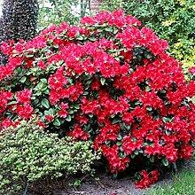 1Rhododendron 'Scarlet Wonder' Evergreen