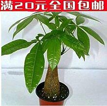 1 Samen / pack Pachira Macrocarpa Samen Geld-Baum-Samen-Garten-Dekoration Bonsai Blumensamen