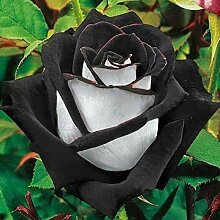1, schwarz/weiß: Shopvise Edelrose Blumensamen