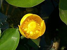 1 St. Gelbe Teichrose Teichpflanze Teichpflanzen Seerose Schwimmpflanze