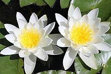 1 St. Weiße Seerose - Teichpflanze Schwimmpflanze