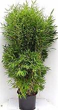 1 Stück Bambus, Fargesia murielae Jumbo, Höhe: